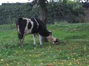 Kalfje en koe